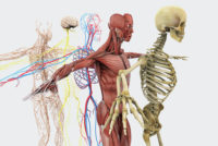 Kurzlehrgang Anatomie an der Tristyle Academy